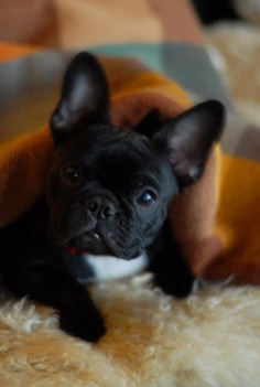Sweet Frenchie