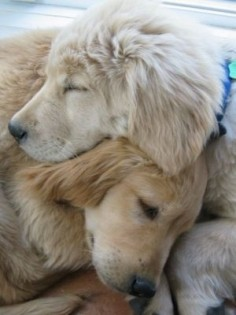 Sweet Golden friends :)