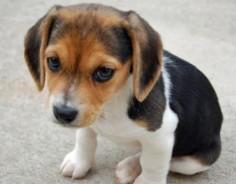 Sweet little beagle(: