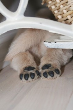 Sweet 'treiver puppy feet