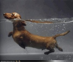 Swim, little dachshund, swim!