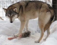Tamaskan Husky Dog-bred to look as much like a wolf as possible without having wolf blood.