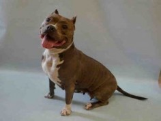 TAMMIE – A1072755 I am an unaltered female, gray and white Staffordshire Bull Terrier mix. The shelter staff think I am about 3 years old. I weigh 59 pounds. I was found in NY 10457. I have been at the shelter since May 07, 2016.