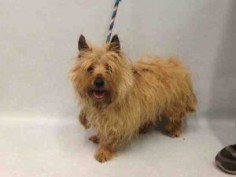 TAMMY – A1078044 FEMALE, BROWN, CAIRN TERRIER, 7 yrs STRAY – STRAY WAIT, NO HOLD Reason STRAY Intake condition UNSPECIFIE Intake Date 06/19/2016, From NY 10475, DueOut Date 06/22/2016,
