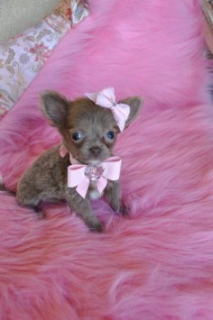 Teacup Chihuahua   Micro Teacup Chihuahua Puppy WOW Adorable Light Chocolate Princess 14 ...