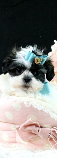 Teacup Shih Tzu puppies