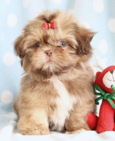 teacup shih tzu puppies for sale in florida | Zoe Fans Blog