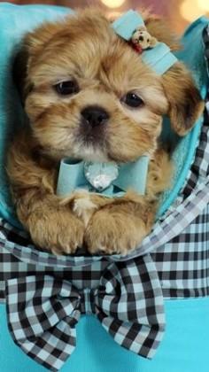 Teacup Shih Tzu puppy