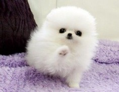 Teacup white Pomeranian love obsession