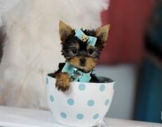 Teacup Yorkies For Sale, Teacup yorkie dogs Florida