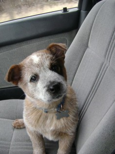Teddy the Australian Cattle Dog