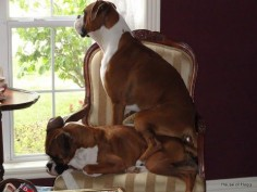 "That ""sit on you"" it's a boxer"