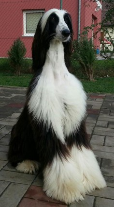 The Afghan Hound is a hound that is one of the oldest dog breeds in existence. Distinguished by its thick, fine, silky coat and its tail with a ring curl at the end, the breed acquired its unique features in the cold mountains of