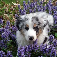 The Aussie Weekly #142 — The Weekly Special Feature for Australian Shepherd Lovers — Photo: Ben Revelli, Aussie: Riot