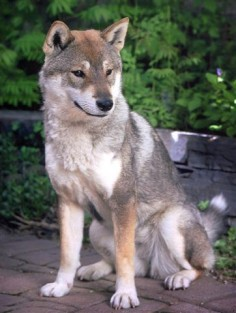 The beautiful Shikoku, looks like a wolf and shiba inu mix *drools* must have!