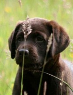 the first few days with your labrador