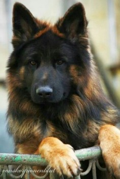 The German Shepherd (German: Deutscher Schäferhund, German pronunciation:…