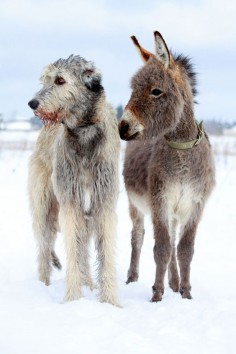 "The Irish Wolfhound:  ""Shrek ISN'T the only one to have 'Donkey' as a friend!"""