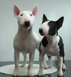 The Miniature Bull Terrier