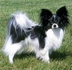 The Papillon Dog Breed:  One of the most obedient and responsive of the toy breeds, the vivacious papillon is also gentle, amiable and playful. He is friendly toward ...