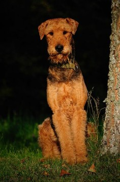 The pose of an Airedale
