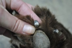 The Secret Grey Dot Inside A Dog's Black Nail:  How to safely trim black nails