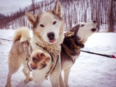 The Sled Dogs