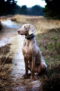 The Weimaraner is a dog that was originally bred for hunting in the early 19th century. Early Weimaraners were used by royalty for hunting large game such as boar, bear, and deer. They are curious and high energy dogs. They need a lot of training and