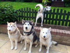 The well trained Siberian Husky pack of Karen Clifford. Love Lycan in the background trying to escape another photo shoot.