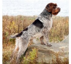 The Westminster Kennel Club | Breed Information: Wirehaired Pointing Griffon