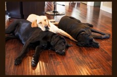 Their names are Hunter, Spencer and Ella, and they are each over 100 pounds of purebred Labrador. Born from the same litter on March 2, 2008