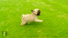 These running puppy pugs. | The 40 Greatest Dog GIFs Of All Time