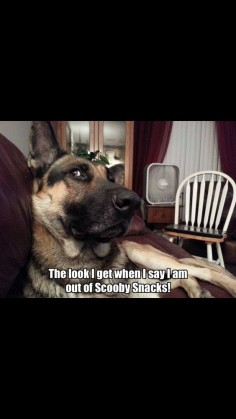 They know you eat them all! #dogs #pets #GermanShepherds
