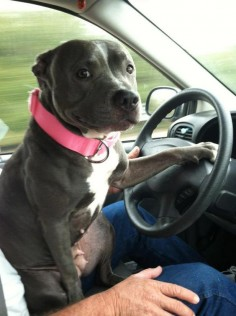 """They see me rollin', they hatin'..."" #pitbull #dog"