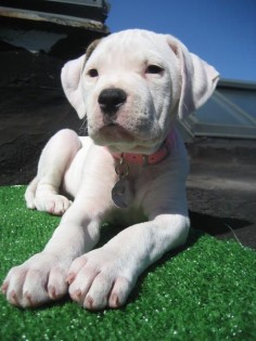 this #American #Bulldog puppy is too cute.