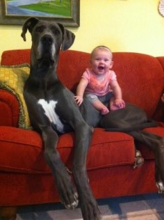 This dog who takes babysitting too seriously. | 21 Dogs Who Don't Realize How Big They Are