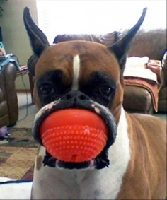 This dog whose face looks like this. | The 31 Most WTF Pictures Of Dogs Being Dogs