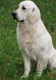 this is an English Golden Cream Retriever