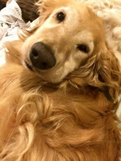 This is Kat - 7 yrs. She is spayed, current on vaccinations, potty and crate trained, has good house manners, walks well on leash, good with dogs and kids. Golden Retriever Rescue Alliance, TX. -