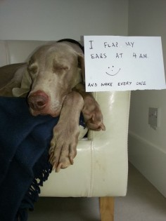 This is so true of my weim!