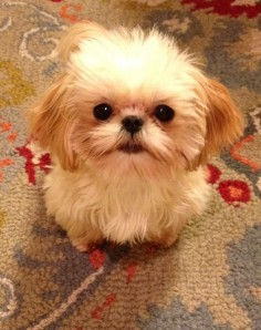 This is the previous pinner's mini teacup Shih Tzu, Lucy. She's her little girl! Isn't she a cutie?! #teacupdogslist #teacupdogs #teacupbreeds #popularTeacups