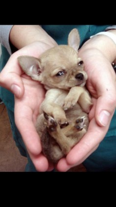 "this is what a ""normal"" chihuahua puppy should look  with some giant head, and bulging"