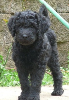 This looks just like my standard labradoodle when she was a puppy.