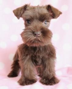 This Mini Schnauzer puppy is so beautiful