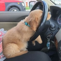 This puppy asleep at the wheel.