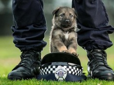 Three-week-old GSD-newest recruit to the Victoria Police Dog Squad, Australia.