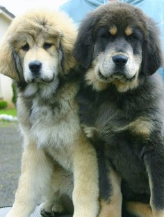 Tibetan Mastiff puppies. :)