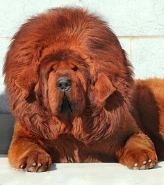 Tibetan Mastiff Red