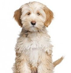 Tibetan Terrier. Wonder if its name is Buffy?