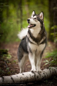 Timber Wolf and Malamute breed